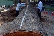 Những cây cổ thụ tuyệt đẹp của Sài Gòn lần lượt nằm xuống