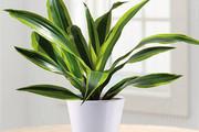 11 loại cây có tác dụng hút khí độc trong nhà