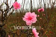 Bản tin đô thị số 15: Đào Tết 'sốt' giá do mưa rét