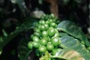 Giá cà phê hôm nay 19/3: Dao động nhẹ