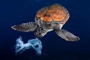 5 loài bị ảnh hưởng bởi ô nhiễm nhựa đại dương