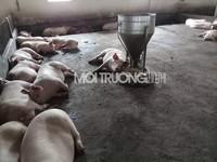 Huế: Tiêu hủy 232 con heo bị dịch lở mồm long móng
