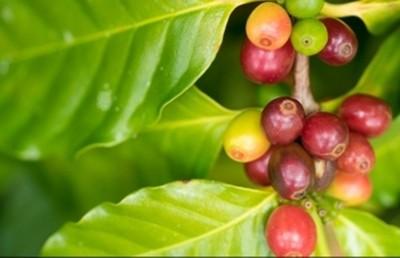 Giá cà phê hôm nay 25/9 tiếp tục tăng mạnh 400 đồng/kg