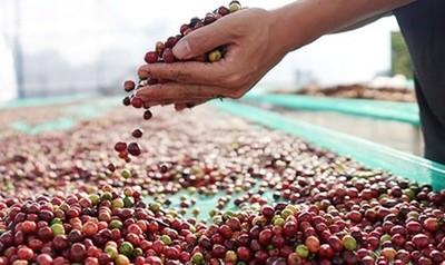 Giá cà phê hôm nay 9/4: Giá cà phê nguyên liệu tăng nhẹ