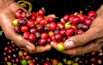 Giá cà phê hôm nay 7/8: Giảm phiên thứ 2 liên tiếp