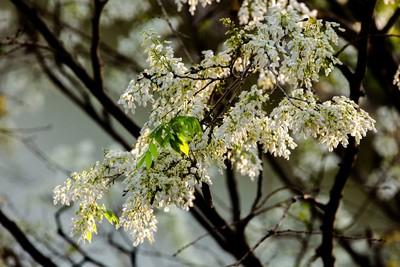 Hà Nội đẹp mê hồn trong sắc trắng hoa sưa