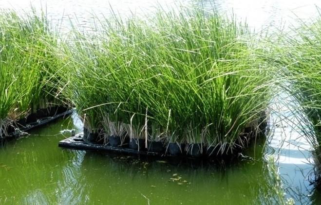 Xử lý ô nhiễm môi trường đất và nước bằng cỏ Vetiver